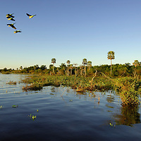 Parrots, Esteros del Ibera, Carlos Pellegrini, Corrientes, Argentina, South America