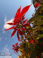 Flowerage of Madeira, bloom, poinsettia, Portugal, Madeira, South Coast