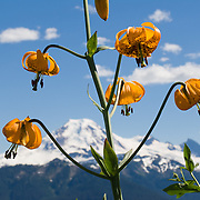 "A Tiger Lily (or Columbia Lily, Lilium columbianum) blooms on Church Mountain across from Mount Baker, in Mount Baker-Snoqualmie National Forest, north Cascade Mountains, Washington, USA. Published in ""Light Travel: Photography on the Go"" book by Tom Dempsey 2009, 2010."
