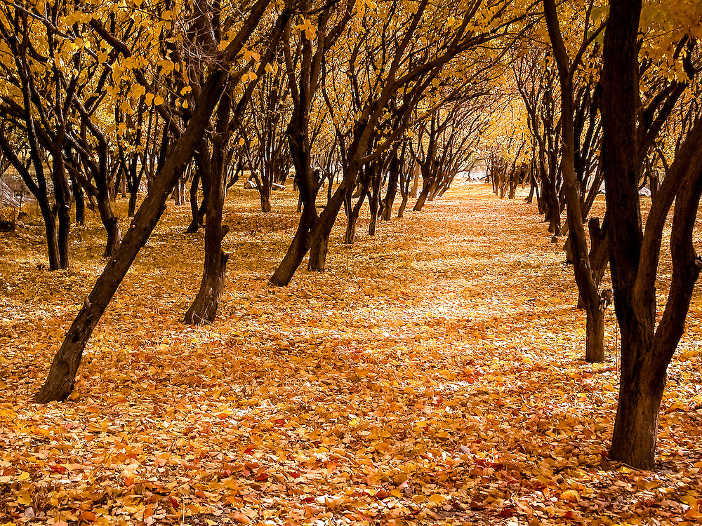 Stock photograph of an apricot orchard in western Tajikistan dressed yellow autumn (fall) livery