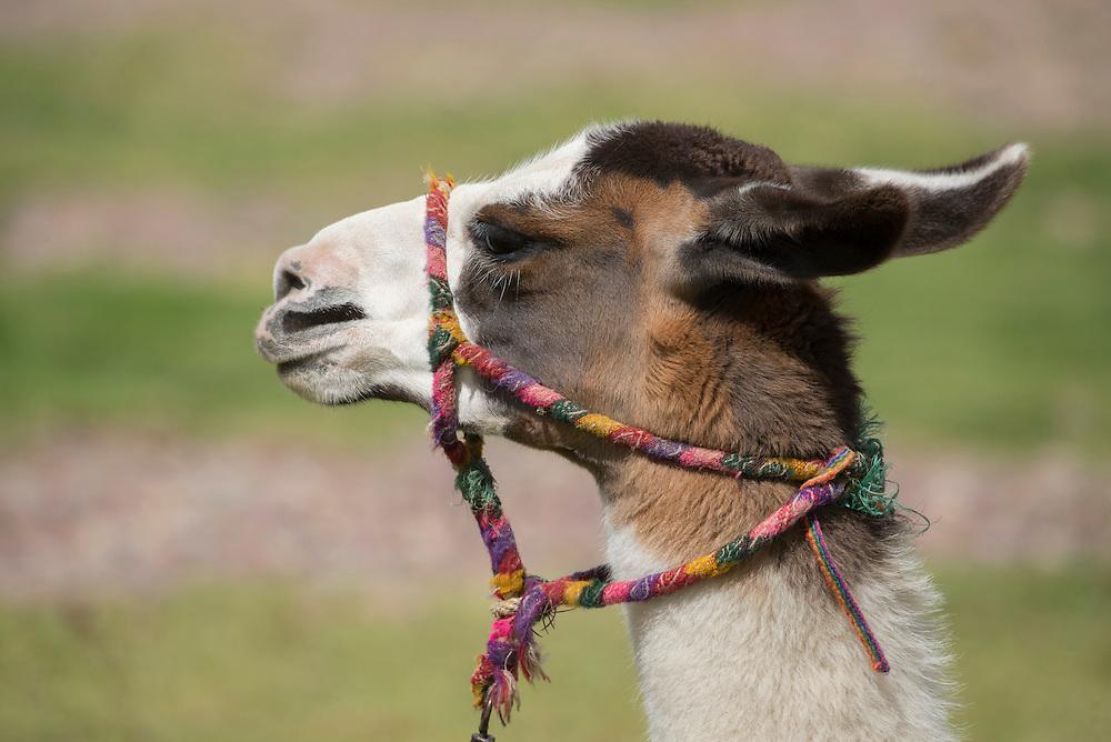 South America, Peru,Cuzco, Llama