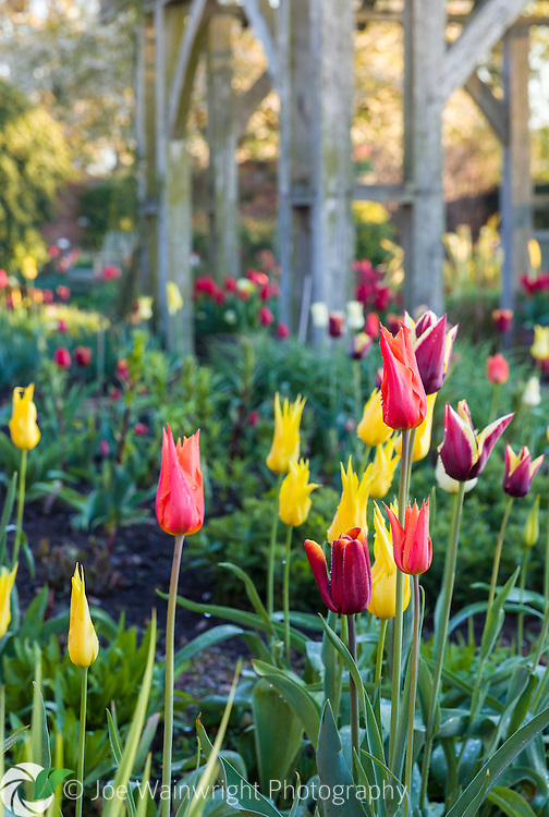 Tulips in April dawn light in the Lanhydrock Garden at Wollerton Old Hall Garden, Shropshire