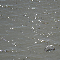 Pelicans on Panama´s Bay, where the new corredor sur (south belt), connects the city with Tocumen´s airport.
