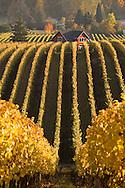 Sokol Blosser autumn vineyard colors & iconic red barn house on estate vineyard, Dundee Hills, Oregon