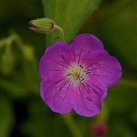 "A close-up of Geranium pratense""Johnson's Blue"" a purple colored  flower with a green background."