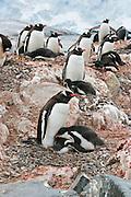 Gentoo Penguin.Pygoscelis papua.Damoy Point near Port Lockroy, Antarctica.30 January 2003.