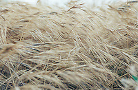 Closeup of dry wild grasses with seed heads southern California foothills USA