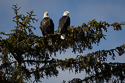 A pair of bald eagles (Haliaeetus leucocephalus) survey the Chilkoot River from a tree in the Chilkoot Lake State Recreation Site near Haines, Alaska. Bald eagles are monogamous. They return to the same nest site to mate with the same partner.