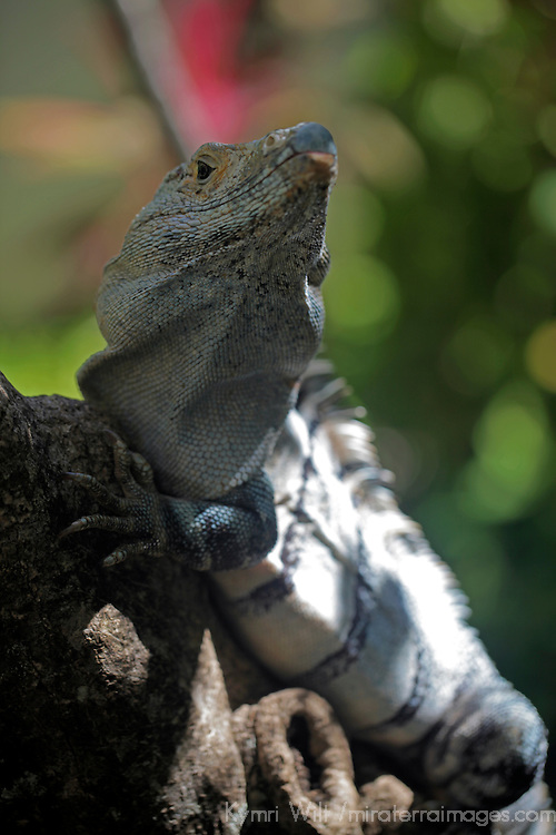 Costa Rica, Tamarindo. A male Green Iguana of Central America.