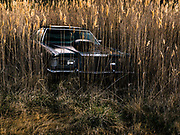 An abandoned car is enveloped by phragmites near Deal Island, a harbinger of salt water intrusion in the soil.