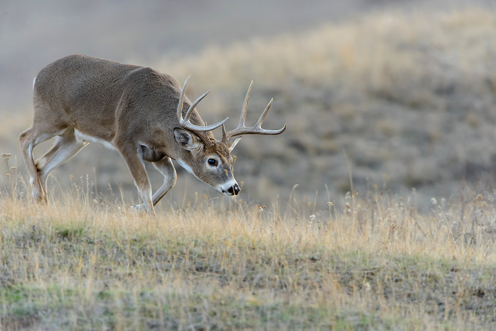 On the scent, a white-tailed buck rushes towards a nearby doe to determine whether she is in heat, Western Montana