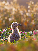 350602-1007 ~ Copyright:  George H. H. Huey ~ Western seagull chick [Larus occidentalis] on Anacapa Island.  Channel Islands National Park, California.