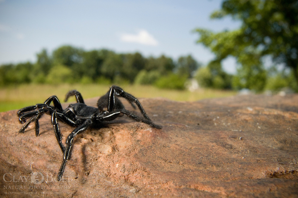 Folding-Door Spiders (Antrodiaetus unicolor), are diminutive, more primative relatives of tarantuals. However, like most members of the mygalomorph group, they exhibit a similar appearance to their larger cousins.  This darkly colored male was photographed in Pickens, South Carolina, USA.