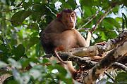 Southern Pig-tailed Macaque (Macaca nemestrina) sitting in a tree by Kinabatangan River, Sabah