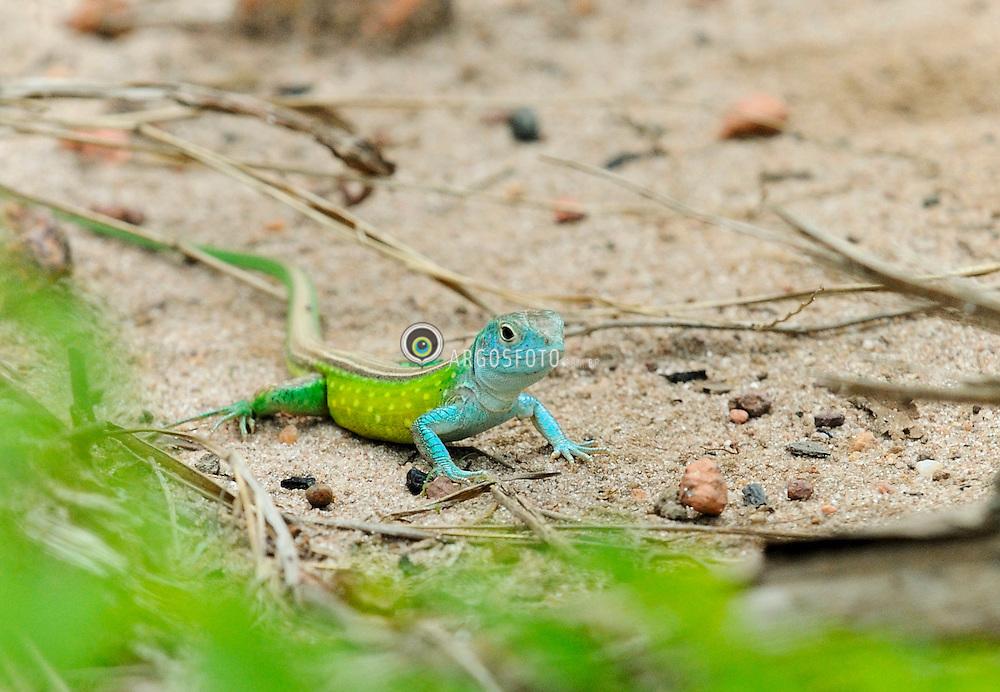 (Ameiva ameiva) Calango verde ou lagarto bico doce, macho juvenil./Green lizard or lizard beak sweet.