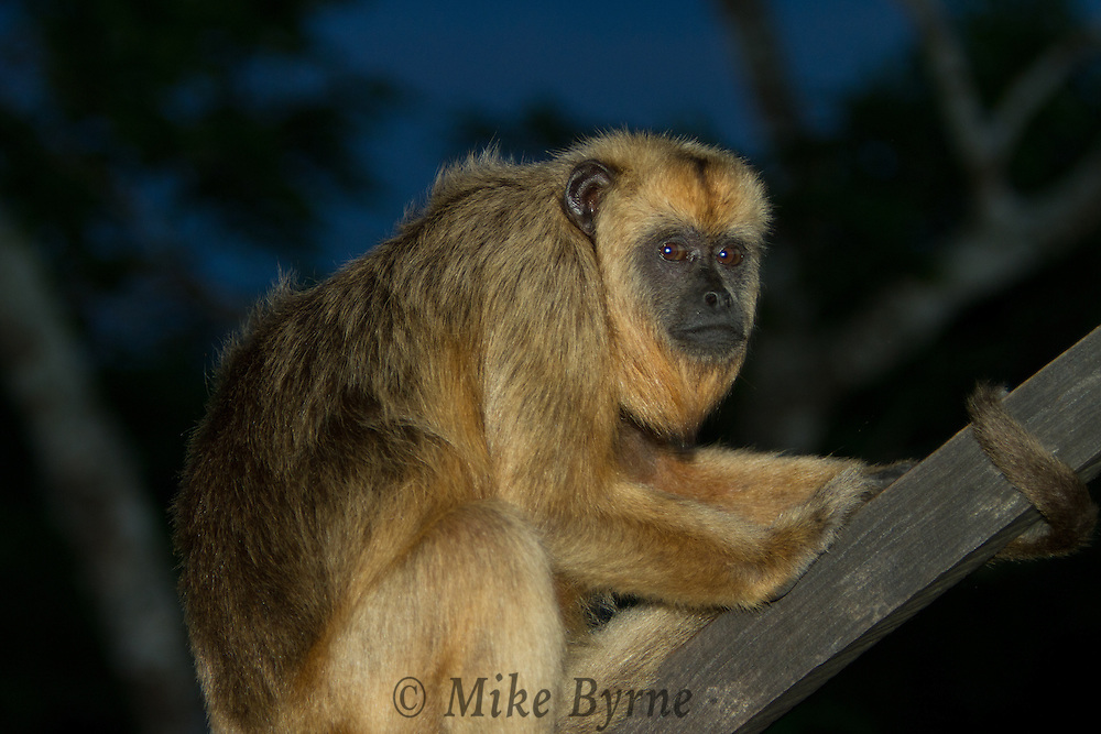 Amazon Black Howler Monkey (Alouatta nigerrima) near Araras Eco Lodge (Pantanal, Mato Grosso, Brazil)
