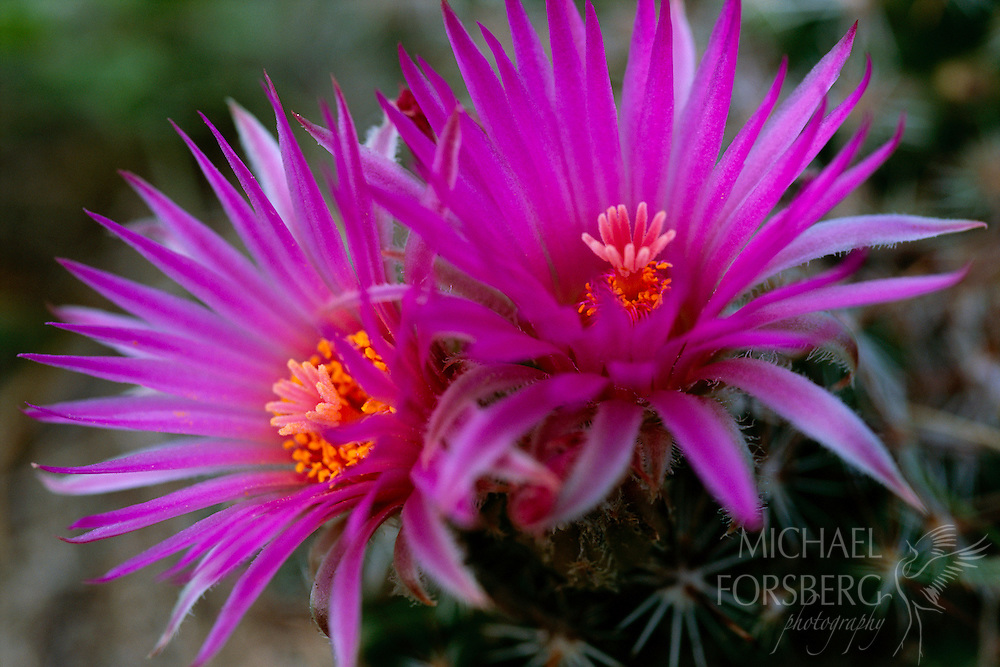 """Kimball County, Nebraska.  """"Pincushion"""" refers to the genus Mammillaria which contains 171 known species. This specific plant is a Rose Pincushion or Mammillaria Zeilmanniana. The Pincushion Cacti are known for their exquisitely beautiful flowers which are open during the warm, sunny afternoon, but close at nights. The blossoms decorate the flower from spring through fall and during the growing season glossy red fruit dots the plant as well. These cacti flourish in the porous, coarse soil of Kimball County."""