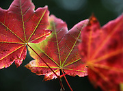 Fall light hits vine maple leaves that are turning color near Mt. Rainier. (Steve Ringman / The Seattle Times)