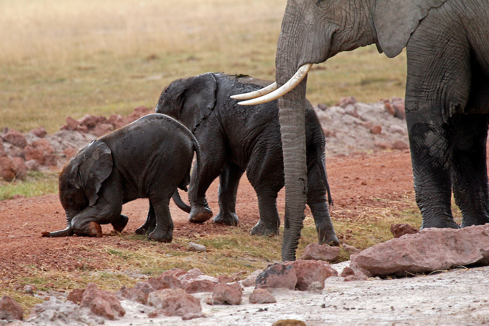 Africa, Kenya, Amboseli. A baby elephant stumbles as mother and sister look on.