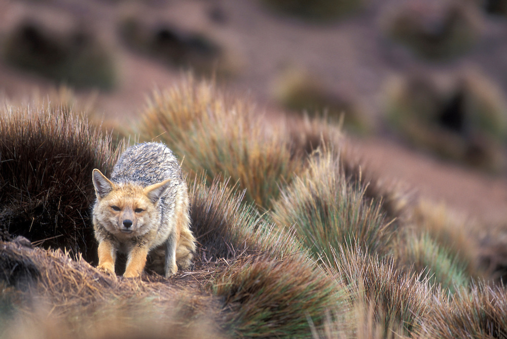 Chile, Lauca National Park, Red Fox (Pseudalopex culpaeus) rests in wet grass during Andean rainy season at ~14,000'