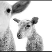 SHOT 1/16/2002 - Two male Polypay lambs, only ten days old and the first time apart from their mother, let their curiosity get the best of them as they start to explore their new surroundings.The lambs and their mom were donated by Nora Weisensee of Strasburg, Colo. and are being shown for educational purposes by the Bennett (Co.) High School Future Farmers of America at the National Western Stock Show in Denver, Co. The lambs weighed about 15 pounds and will grow to about 125 pounds. The Polypay sheep breed is a white, medium sized sheep which was developed in the 1960s at the U.S. Sheep Experiment Station in Dubois, Idaho. [1] In general, Polypay sheep are noted for being a highly prolific, dual-purpose breed..(Photo by Marc Piscotty / © 2002)