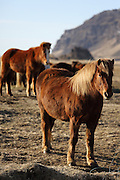 Icelandic horses come to say hello along a roadside in southern Iceland
