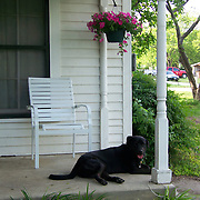 Black Lab on porch with flowers