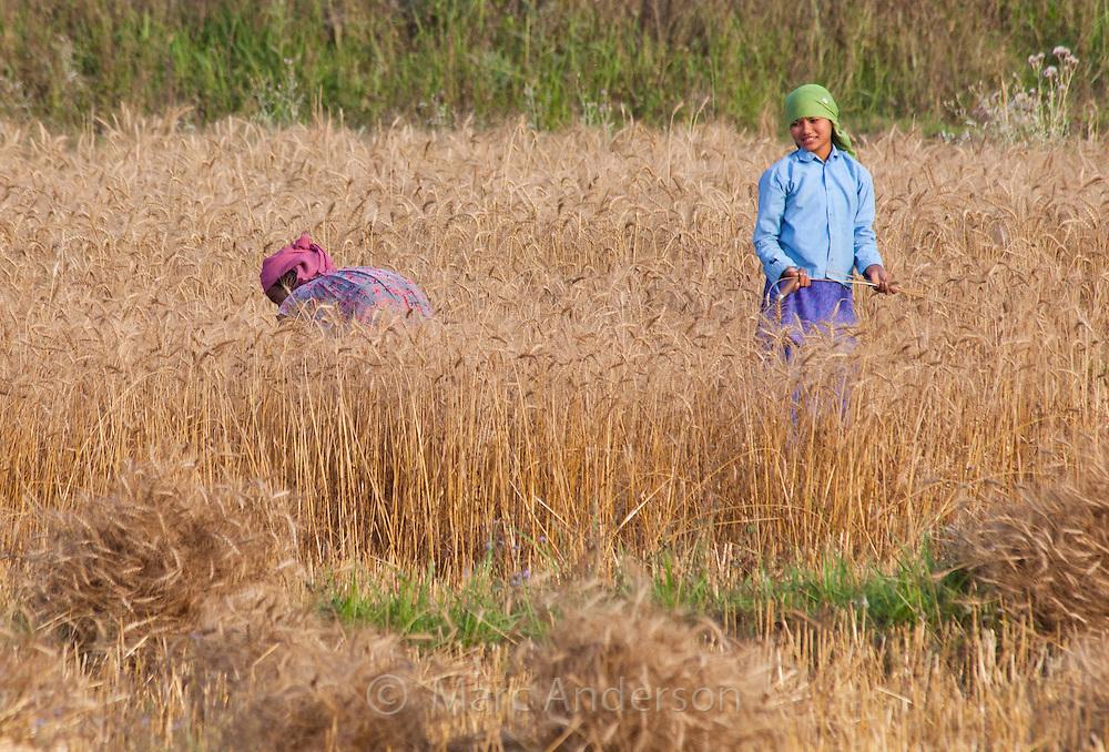 Nepalese women harvesting wheat, Bardiya, Nepal