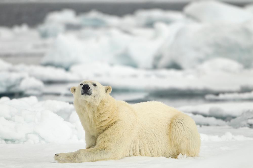 Norway, Svalbard, Nordaustlandet, Polar Bear (Ursus maritimus) resting on broken sea ice near Phippsøya (Phi's Island) on summer morning