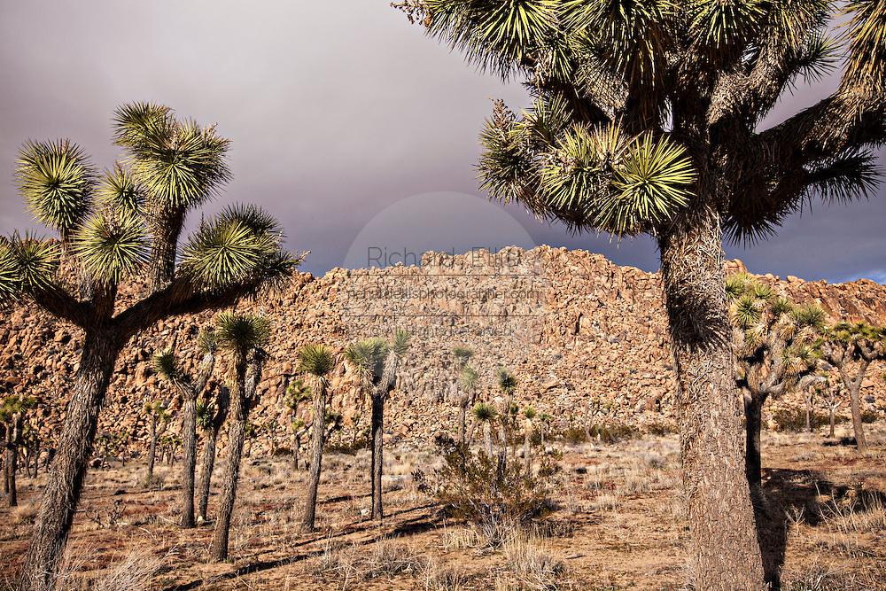 Joshua trees in Joshua Tree National Park, California.