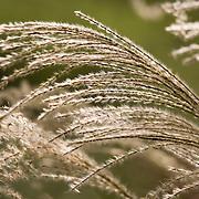 Fall grass, garden, Mercer Arboretum, Houston, Texas.