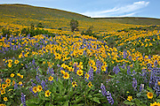 WA13101-00...WASHINGTON - Balsamroot and lupine covered hillsides along the Stacker Butte trail in the Dalles Mountain Ranch section of Columbia Hills State Park.