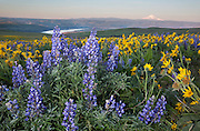 WA13106-00...WASHINGTON - The balsamroot and lupine covered meadows of Dalles Mountain Ranch located in view of Mount Hood and Mount Jefferson, overlooking the Columbia River at The Dalles in the Columbia Hills State Park at sunrise.