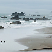 The Pacific Ocean carves sea stacks from coastal cliffs at Harris Beach State Park, on US Highway 101, north of Brookings, Curry County, Oregon, USA. Canada geese walk the beach. Panorama stitched from 2 overlapping photos.