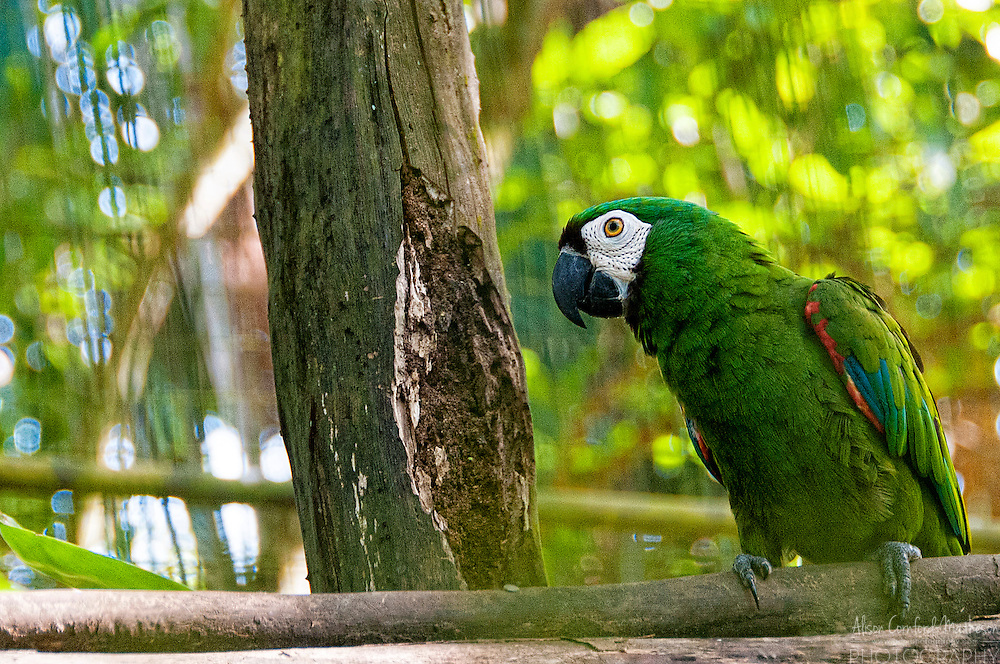 Green Parrot at The Zoo de Guyane, or Zoo of French Guiana, is one of the regions top tourist attractions and contains animals and plants from the French region in South America