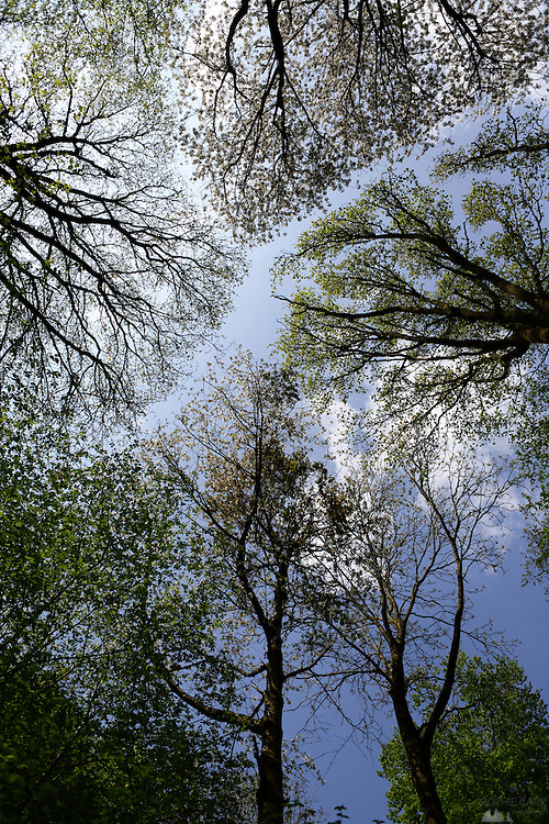 Looking up at trees in early summer in Lane Woods, Little Chalfont, Bucks