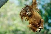 Baby Orangutan swinging from tree branch [captive animal].