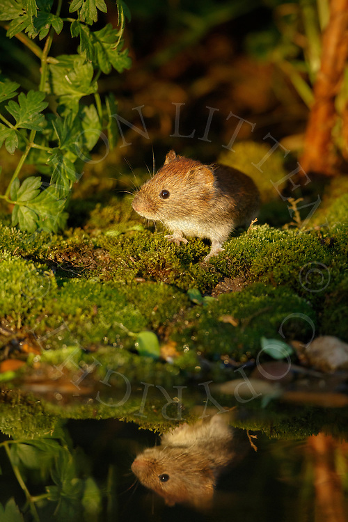 Bank Vole (Clethrionomys glareolus) adult on bank of small pond, South Norfolk, UK. October.