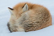 A curled up red fox (Vulpes vuples) in winter, Yellowstone National Park, Wyoming