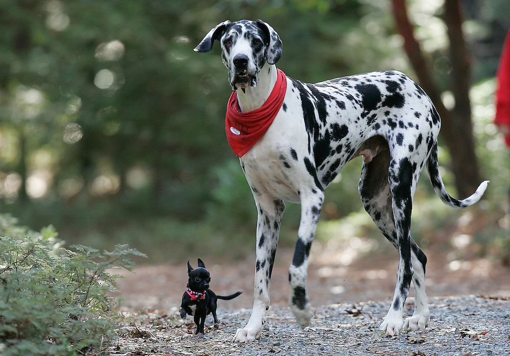 """According to Guinness World Records, Gibson, a Great Dane, is the world's tallest dog, from floor to shoulder 42.2"""". He stands 7'2""""  on his hind legs. Gibson plays with his friend, Zoie, a 7.5"""" Chihuahua. Photo by Deanne Fitzmaurice"""