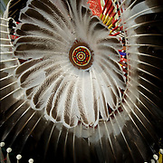Close up of Fancy dancers bustle regalia, Thunderbird Powwow at the Queens County Farm Museum.<br /> <br /> The Native American bustle is a traditional part of a man's regalia worn during a dance exhibition or pow wow and originates from the Plains region of the United States. The men's bustle is typically made of a string of eagle or hawk feathers attached to a backboard. Eagle and hawk feathers are sacred religious objects to Native American people and the possession of eagle and hawk feathers are protected by the eagle feather law.<br /> <br /> The traditional bustle or &quot;old-style&quot; bustle, being circular.  Fancy dancers generally wear two bustles, one attached to a belt above the buttocks and another attached to a harness on the back.