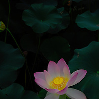 A radiant lotus blossom in Washington, DC's Aquatic Gardens.