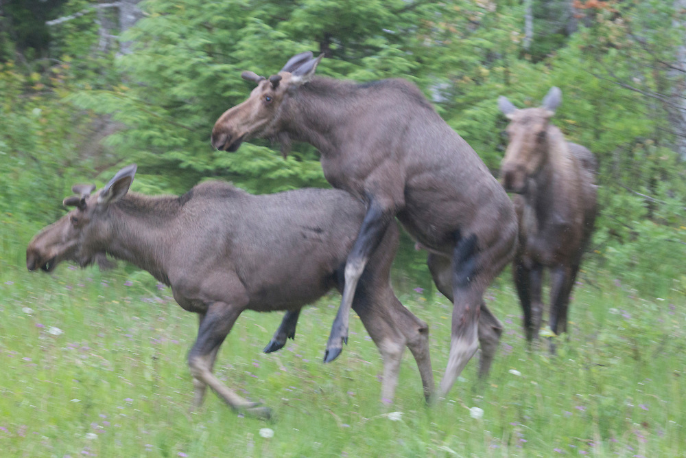 Two sibling moose try to figure out how to mate