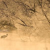 Japanese red-crowned crane (Grus japonensis). on icy pond at sunrise, Hokkaido Island, Japan.