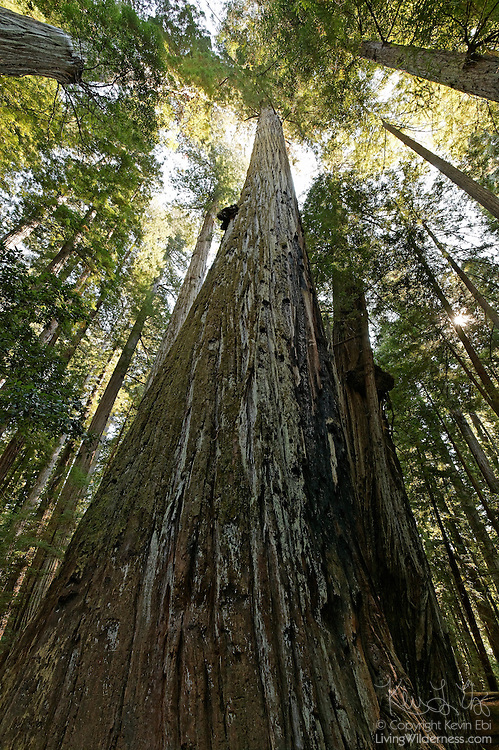 The largest known coast redwood (Sequoia sempervirens) is located in the Humboldt Redwoods State Park in California. It was officially measured at 363 feet (111 meters) in height, and has a circumference of 53.2 feet (16 meters) and a crown spread of 62 feet (19 meters) in November, 1991. Coast redwoods, which are native to coastal California and the southwestern corner of Oregon, can live up to 2,200 years and rank as the tallest trees on Earth.
