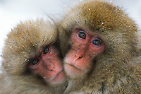 A pair of Japanese macaques (Macaca fuscata), or snow monkeys, cuddle together.