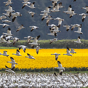 A large flock of snow geese (Chen caerulescens) settle near a field of daffodils in La Conner, Washington.