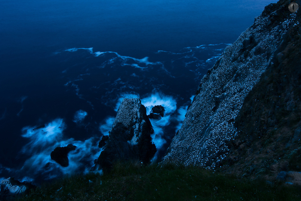 The gannetry at Hermaness NNR, Unst, Shetland in all its majesty as seen at midnight