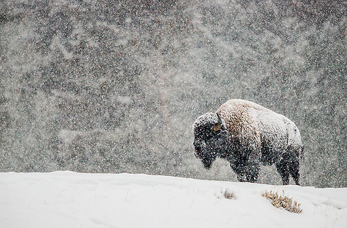 How bison survive winter in the Northern Great Plains | Stories | WWF