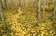 Fall aspen leaves on forest trail in the San Juan Mountains, San Juan National Forest, Colorado